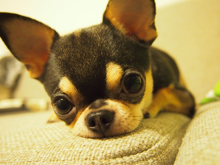 apple head chihuahua puppies best 25 apple head chihuahua ideas on pinterest apple 6456