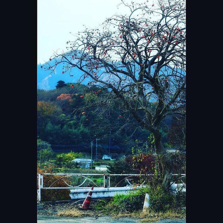 晩秋の里の趣きですね a persimmon tree #persimmon #lateinautumn #forest #晩秋 #柿の木 #田舎の風景