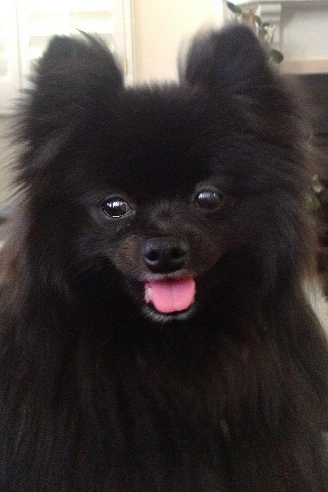 The 25+ best Black Pomeranian ideas on Pinterest | Baby ...