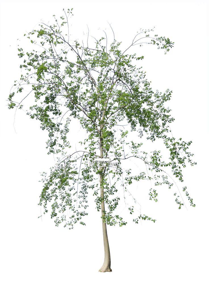 Celtis africana l Common name: White Stinkwood l Spring 1