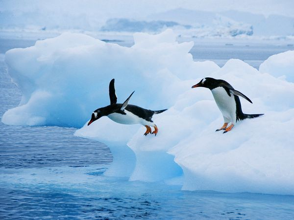 With flamboyant red-orange beaks, white-feather caps, and peach-colored feet, gentoo penguins stand out against their drab, rock-strewn Antarctic habitat. These charismatic waddlers, who populate the Antarctic Peninsula and numerous islands around the frozen continent, are the penguin world's third largest members, reaching a height of 30 inches (76 centimeters) and a weight of 12 pounds (5.5 kilograms).