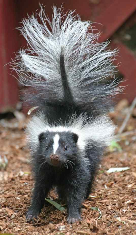 I adore skunks!  They are another one of my totems.  I feel in love with them after a baby one fell into our window well and we spent a day caring for it and eventually setting it free.  They have a good philosophy on life.  They are pretty laid-back, sweet animals until you make them mad...then WATCH OUT!   Ha Ha.