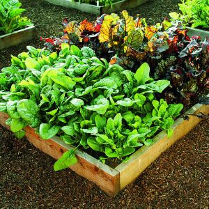 How to grow your own greens
