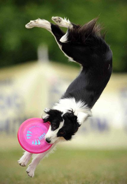 Border collie can fly!