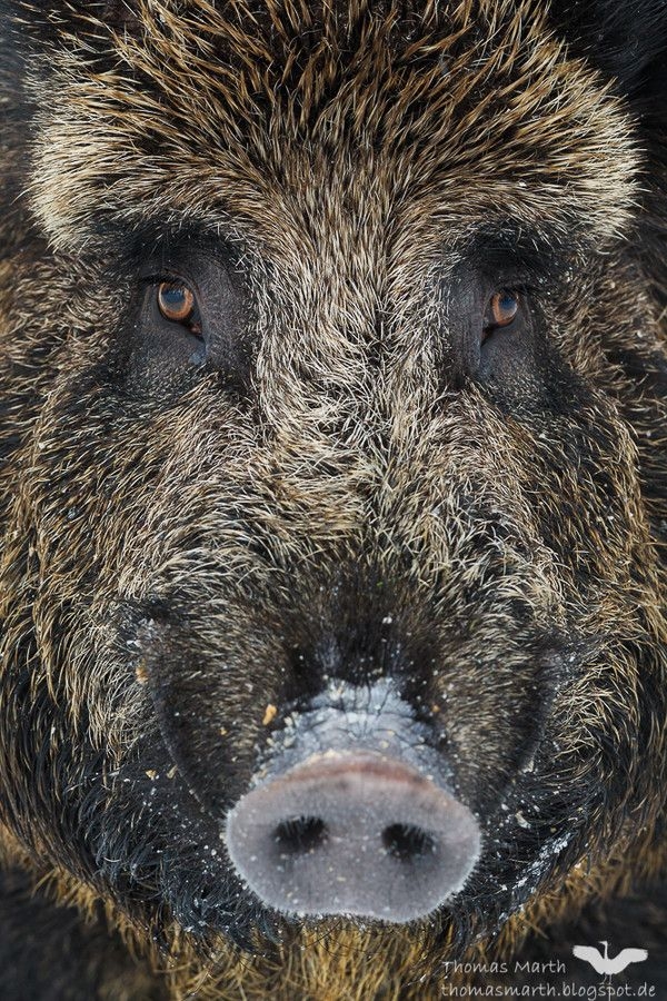 Wild Boar by Thomas Marth on 500px  HD: These dudes live down the hill from our house.  They are HUGE!!!!!