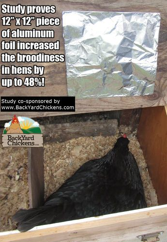 NEW BYC Sponsored Study: Increase Chicken Broodiness By Up To 48% With Aluminum Foil