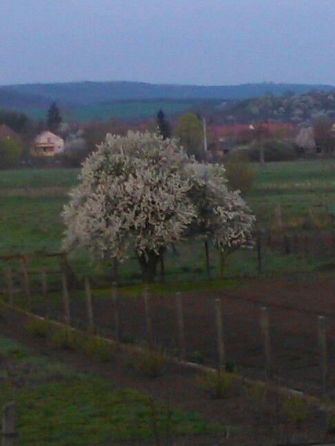 Virágzó szilvafa