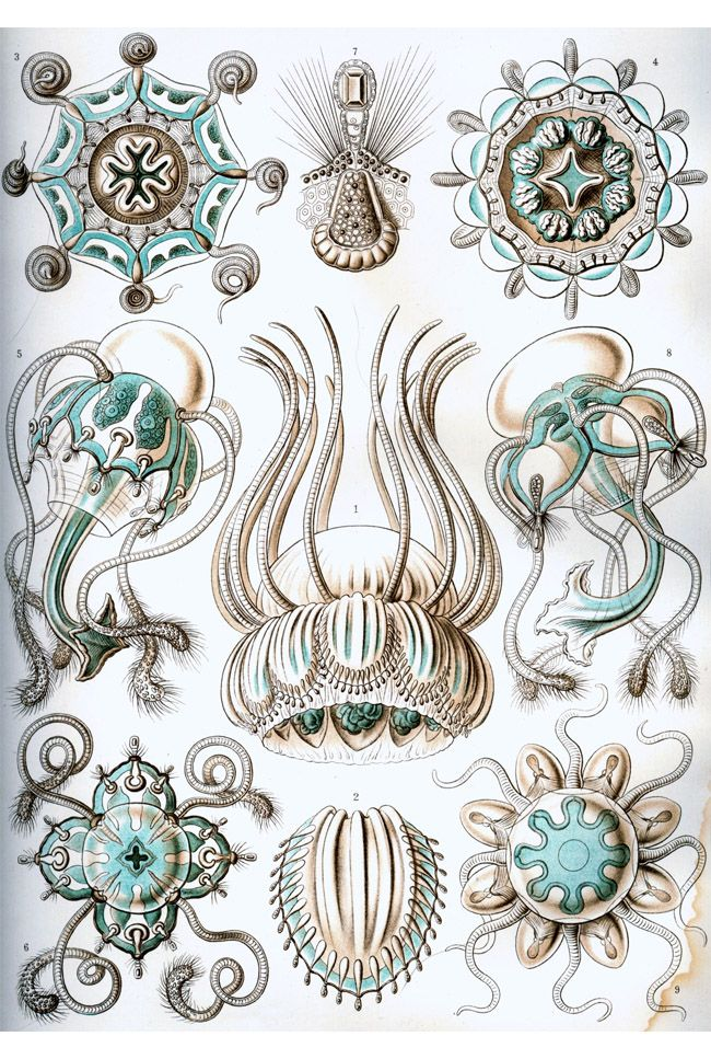 Color Inspiration . Nacromedusae - Ernst Haeckel.