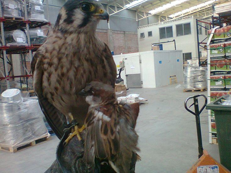 Cernícalo Americano (Falco Sparverius) Control Biológico