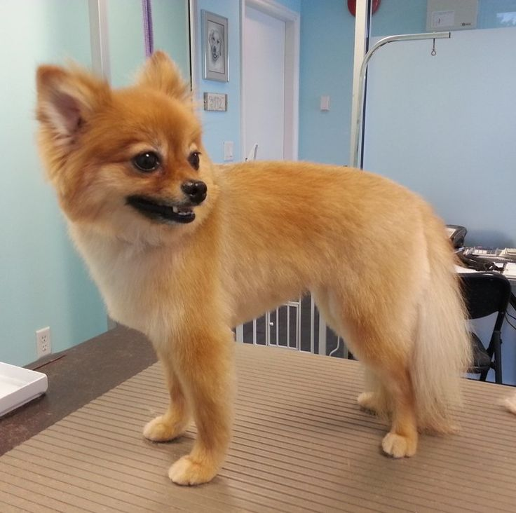 how to cut pomeranian hair at home best 25 pomeranian haircut ideas on pinterest 187
