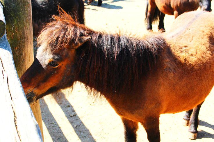 Pony Shetlenský