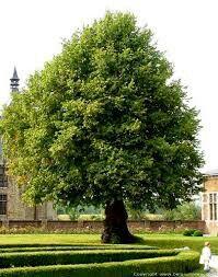 De lindeboom staat als symbool voor: bescherming , en verbondenheid van de gemeenschap.