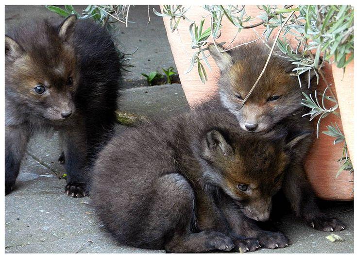 Fuchswelpen von Gertie