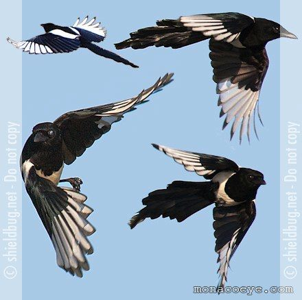 magpies. Google Image Result for http://monacoeye.com/birds/index_files/pica_pica_common_magpie_02.jpg