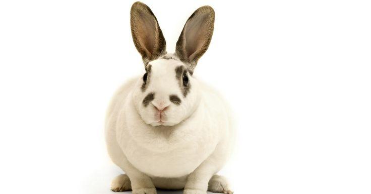 Como tratar de um coelho com larvas de moscas. Um coelho cujo pelo está úmido ou sujo corre o risco de contrair uma doença chamada miíase. A miíase ocorre quando certas espécies de moscas depositam seus ovos na pele do coelho. Quando as larvas nascem, elas consomem a pele e a carne do animal e soltam dejetos prejudiciais. Os coelhos que correm o maior risco são aqueles com diarreia ou ...