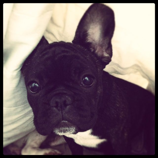 frenchie, french bulldog, bulldog frances