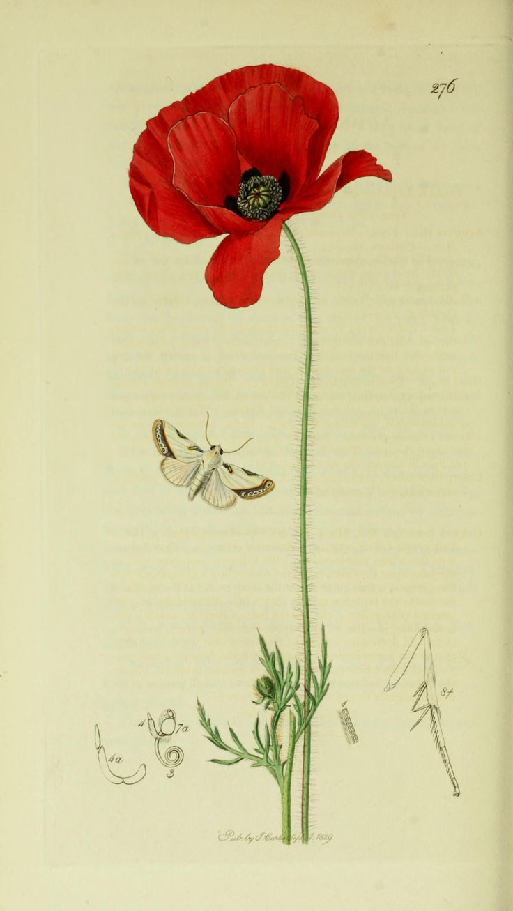 1270 best images about amapolas papaveri poppies for Botanical tattoo london
