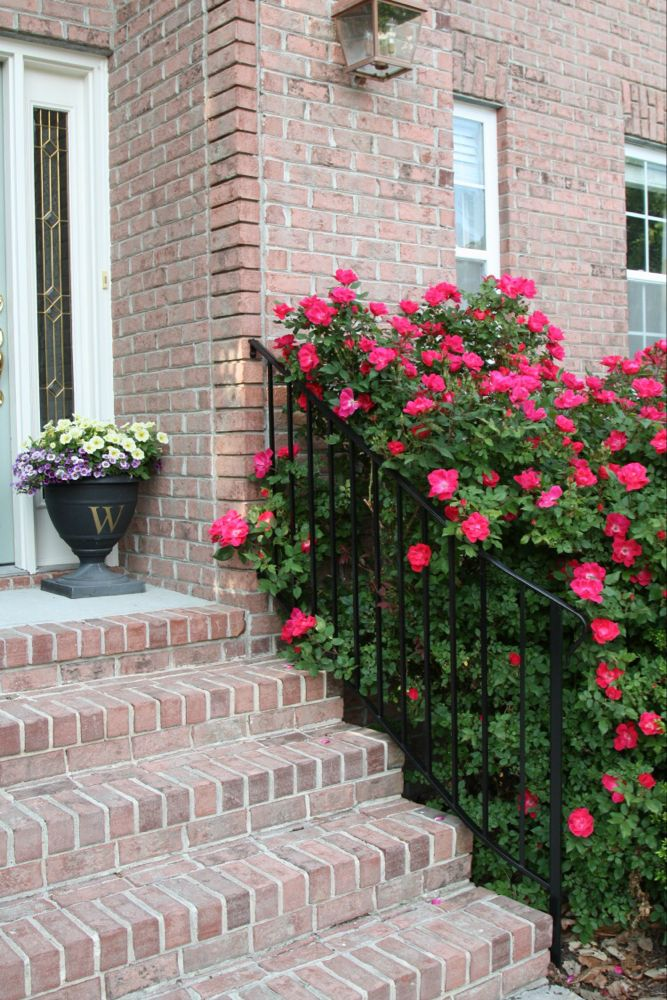 How And When To Prune Knock Out Roses Sand And Sisal Knockout Roses Trim Rose Bushes Pruning Knockout Roses