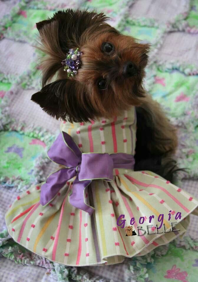 403 Best Images About Dressed Up Yorkie On Pinterest