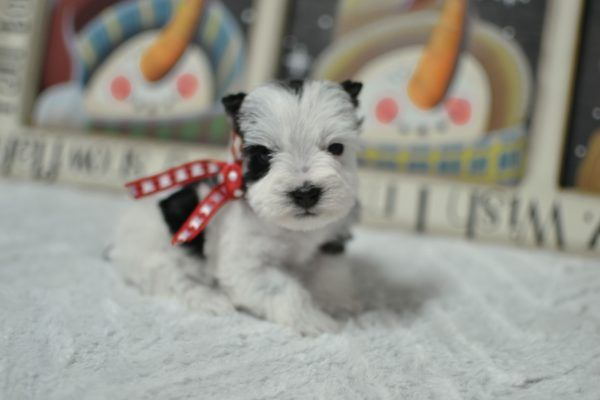 Black And Silver Schnauzer Puppies For Sale Toy Schnauzer Dog