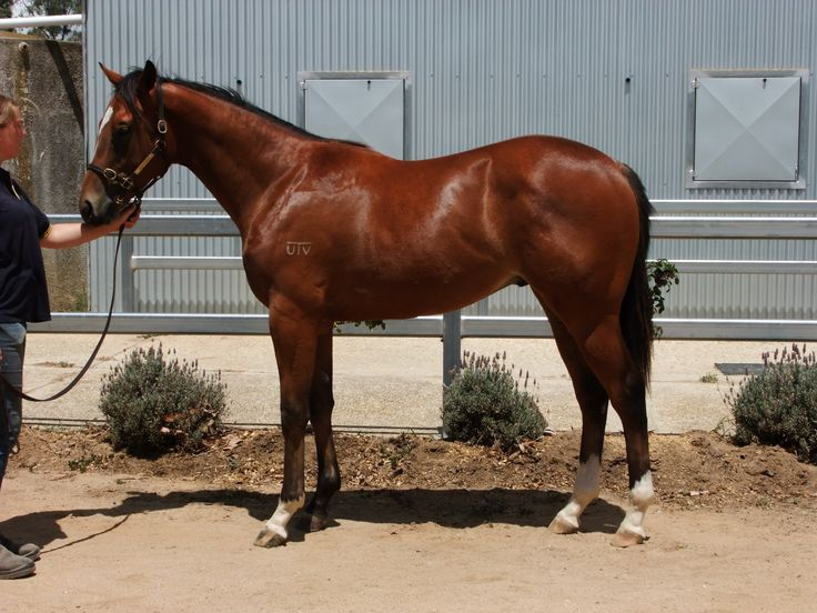 Primus x Cajo Kellila colt being sales prepped Feb 15 at Hollylodge