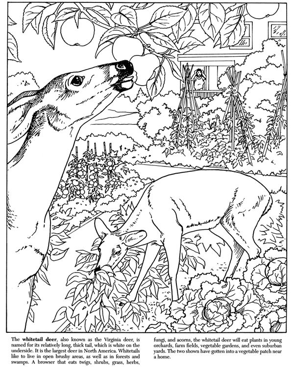 Deer Backyard Nature Coloring Pages Colouring Adult Detailed Advanced Printable