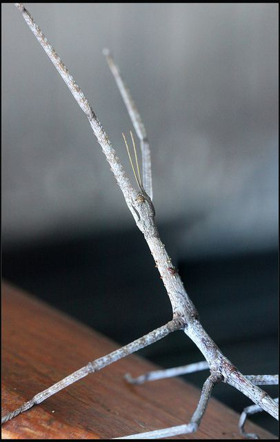 closeup of stick insect