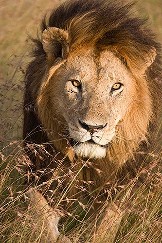 Lion. The great kings