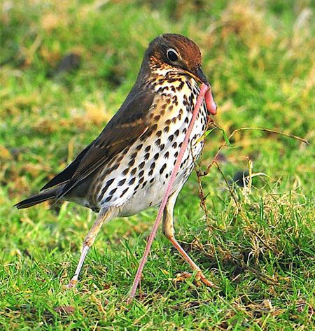 Song Thrush bird got a worm