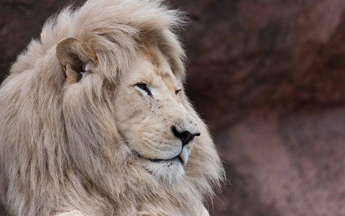 Download wallpapers white lion, wildlife, predator, king of beasts, lion