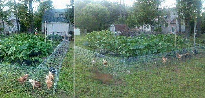 Chicken like to eat plants and dig dirt to find worms. If you don't put them in cages or chicken coops, your backyard will be very messy. If you have a bigger yard and would like your chicken to have more space, then these chicken tunnels are a great idea. The tunnel is designed to