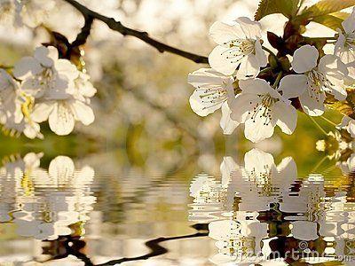 El árbol blanco hermoso del resorte florece el primer. Tirado después de la salida del sol.