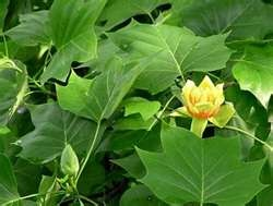 Kentucky State Tree - Tulip Poplar
