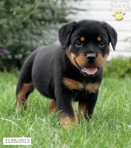 https://i.pinimg.com/736x/ca/c4/5d/cac45d25688c1a5d6e1c116e3ab5c384--rottweiler-puppies-awesome-dogs.jpg