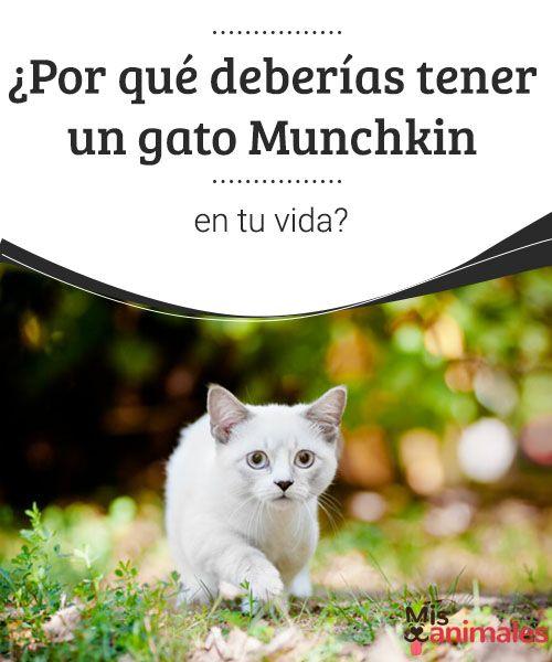 ¿Por qué deberías tener un gato Munchkin en tu vida?  Esos adorables gatitos de patas cortas te harán tener una vida más amena y divertida. ¿Cuántas razones hay para tener un gato Munchkin en tu vida? #tuvida #gato #diversión #alimentación