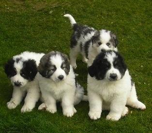 "Romanian ""Bucovina Shepherd"" Dog, Caine Ciobanesc de Bucovina, Bukovina Sheepdog"