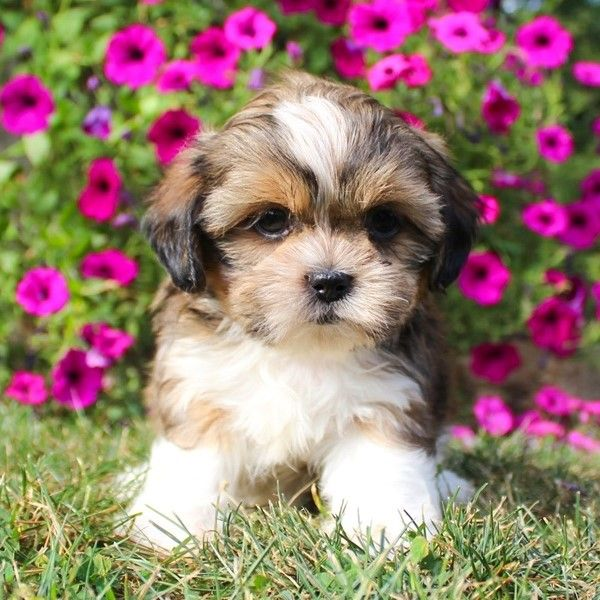 Available Pups Delroi Shih Tzu Puppies Yorkie Puppy For Sale