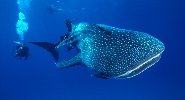 Whale Sharks - hope to be able to take my son to see them when he is a little older