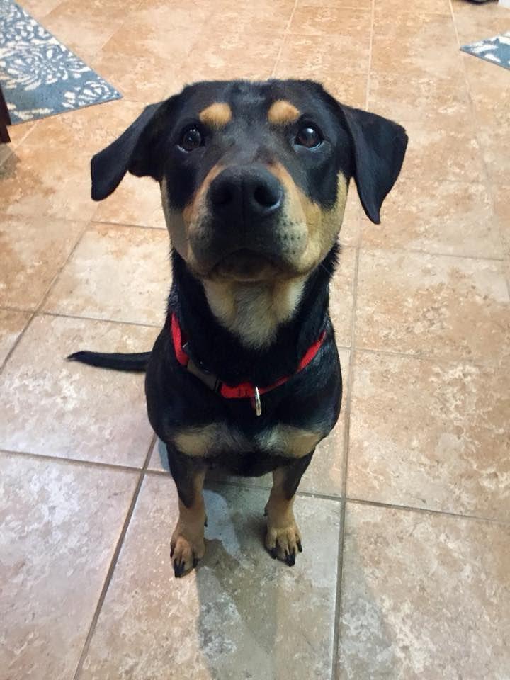 Labrottie Dog For Adoption In Von Ormy Tx Adn 771976 On