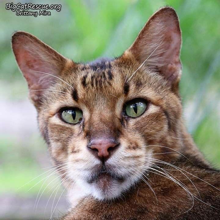 King Tut Savannah Cat Big Cat Rescue Tampa Fl 11 16 19 Big Cat Rescue Tampa Big Cat Rescue Cats