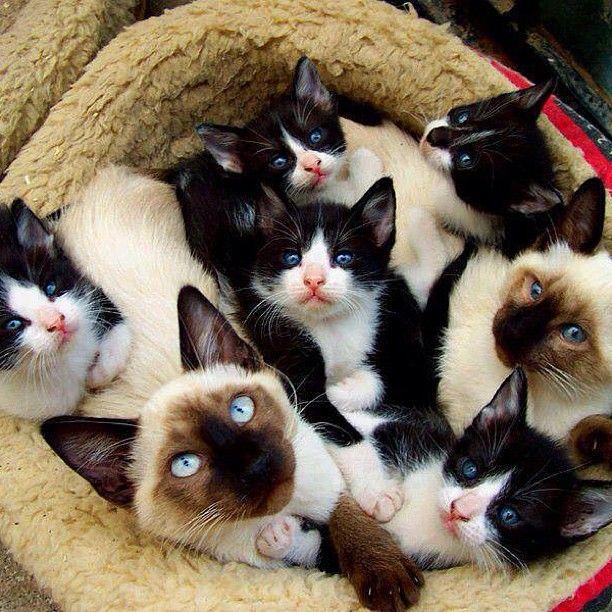 Awwww tuxedo cats....I love them!