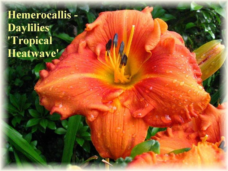PLANTS-DAYLILY- H. 'Tropical Heatwave '  #Plants