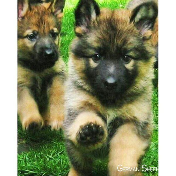 German Shepherd Dogs Germanshepherdonline Germanshepherddog