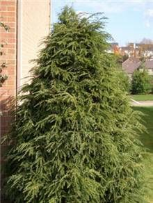 Northern Evergreen & Windbreak Trees  -  	Looking for an attractive evergreen that grows just about anywhere? 	 	The Canadian Hemlock lives up to its name- it laughs at the cold. These evergreens thrive in cold regions where other varieties can't grow.   	However, it is still able to grow in warmer climates, too. It does best in...