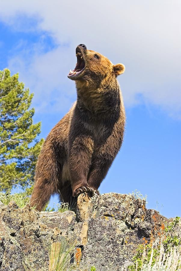 grizzly bear painting | Grizzly Bear Roaring Photograph - Grizzly Bear Roaring Fine Art Print