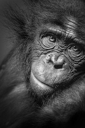 "A Quiet Moment B - ""Kianga"", one of the Bonobos at Twycross Zoo"