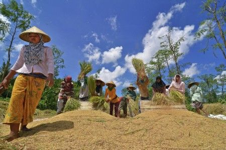 Hendri Suhandi: Traditional paddy harvesting system by Sasak farmer, Sade, Lombok, Indonesia.