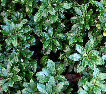 Pachysandra terminalis of schaduwkruid als wintergroene bodembedekker - groenblijvende bodembedekker pachysandra planten kopen