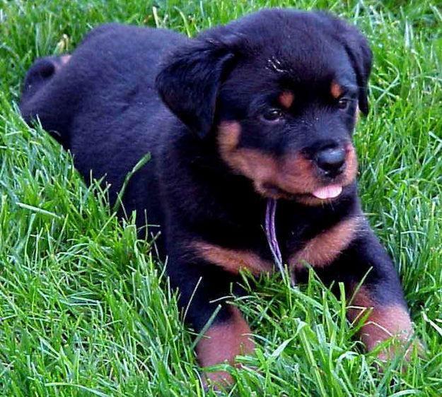 Resultado de imagen para perros rottweiler bebes