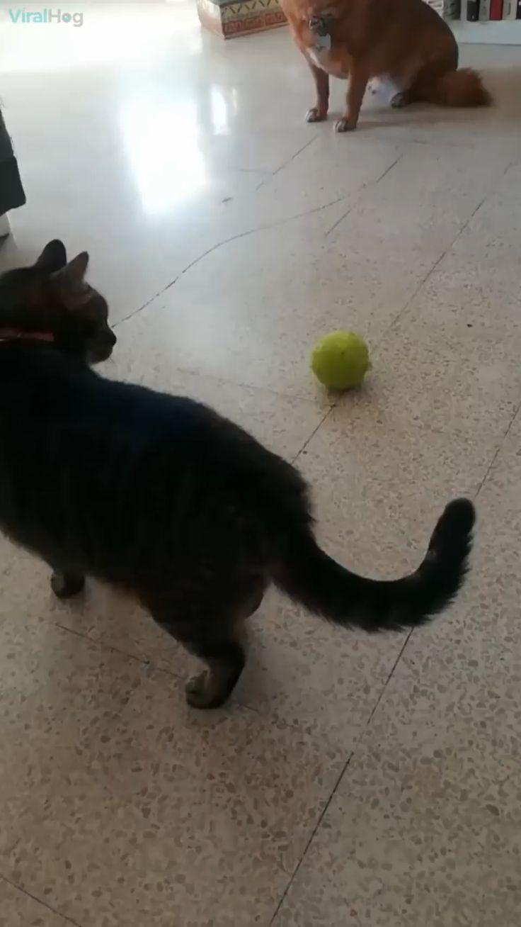 The way my cat plays with a tennis ball can't be normal! Wait for it…